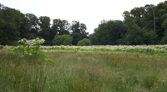 These invasive non-native plants can quickly take over an area. Image courtesy of the Tweed Forum.