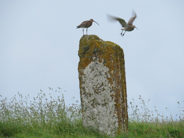 Curlews at Brodgar ©Alan Leitch