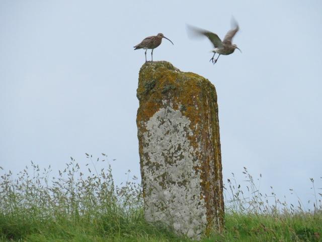 Curlews at Brodgar ©Alan Leitch