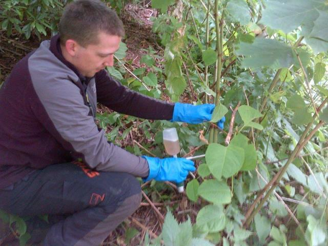 Japanese knotweed being treated