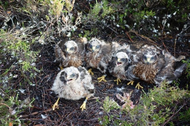 Hen harrier nest ©Ian Francis