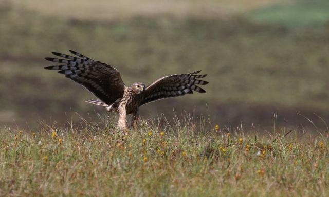 Hen harrier landing in Orkney ©Christine Hall
