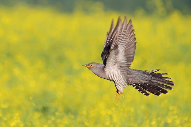 Male cuckoo in flight