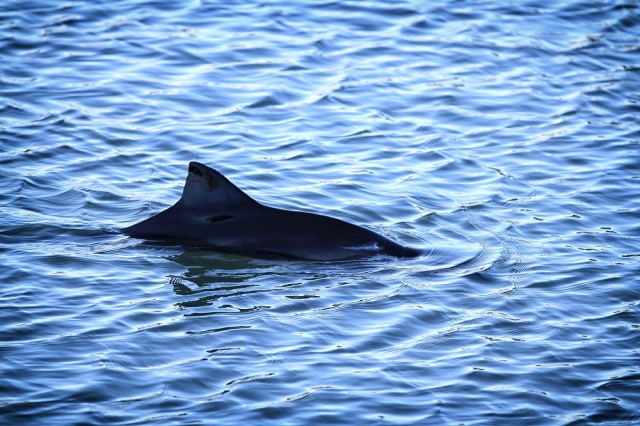 Common or Harbour Porpoise (Phocoena phocoena) dorsal fin breaking the water