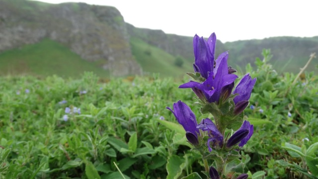 Clustered Bellflower on the Dune Grassland