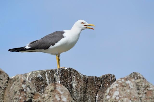 Lesser black-backed gulls (Larus fuscus), ©Lorne Gill/SNH
