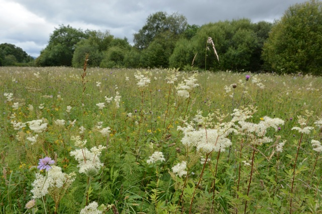 Meadowsweet (Filipendula ulmaria). Weem meadow SSSI near Aberfeldy. July 2016 ©Lorne Gill/SNH For information on reproduction rights contact the Scottish Natural Heritage Image Library on Tel. 01738 444177 or www.snh.gov.uk
