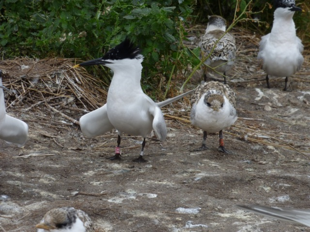 Forvie Sandwich tern adult and chick both with darvic rings © Cat Reid