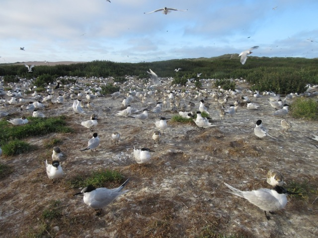 Forvie tern colony ©David Pickett