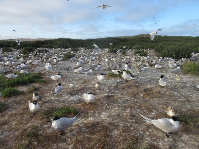 Forvie tern colony ©David Pickett