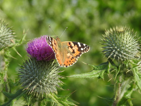 Isle of May - Painted Lady Butterfly - blog.jpg