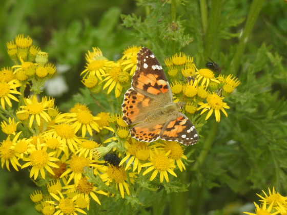 Isle of May - Painted Lady butterfly on ragwort - blog