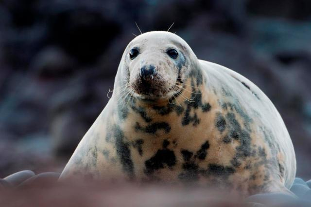 Grey Seal ©Lorne Gill