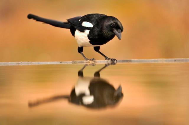 Magpie (Pica pica).©Lorne Gill
