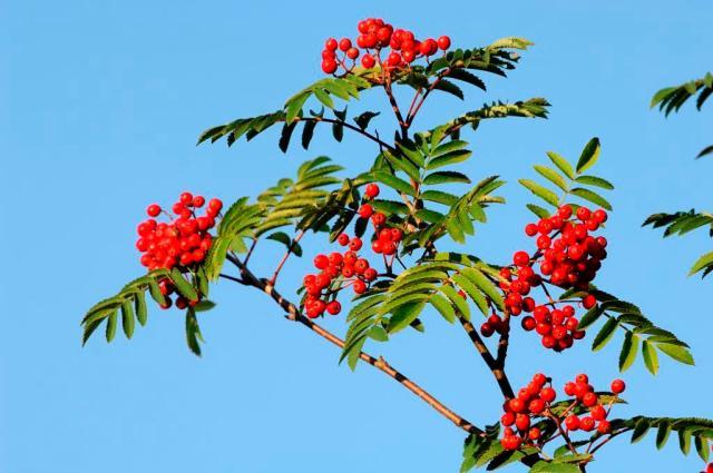 Rowan berries.©Lorne Gill/SNH