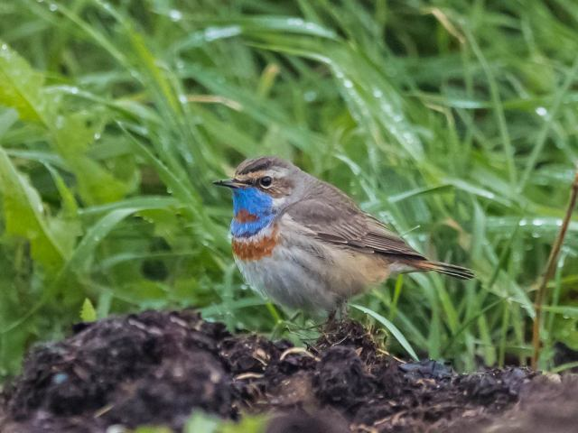 Bluethroat at Tangleha' (c) John Clark