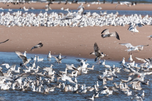 Gulls at St Cyrus NNR estuary (c) Paul Ross