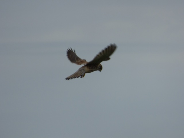 Kestrel at St Cyrus NNR (c) Gus Routledge