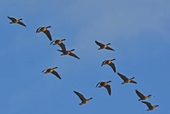 Pink-footed geese (C) Steve Buckland