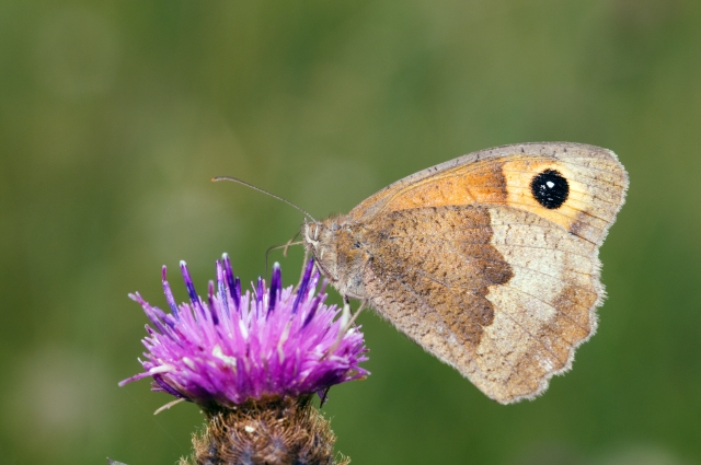 Image - Meadow Brown on creeping thistle - 29 Oct 2019 (A3092247)