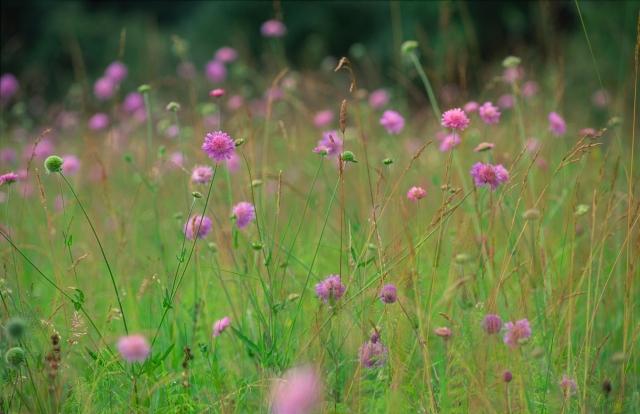 Field scabious (Knautia arvensis), Weem Meadow.©Lorne Gill/SNH