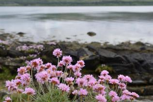 Thrift (Armeria maritima) growing on the shore at Taynish National Nature Reserve. ©Lorne Gill/SNH