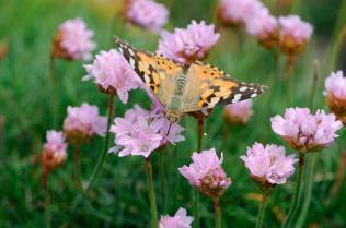 Painted lady butterfly feeding on thrift. ©Lorne Gill