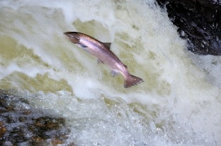 A female Atlantic Salmon (Salmo salar) leaping up a waterfall, River Almond, Tayside and Clackmannanshire Area. ©Lorne Gill For information on reproduction rights contact the Scottish Natural Heritage Image Library on Tel. 01738 444177 or www.snh.org.uk ©Lorne Gill Scottish Natural Heritage