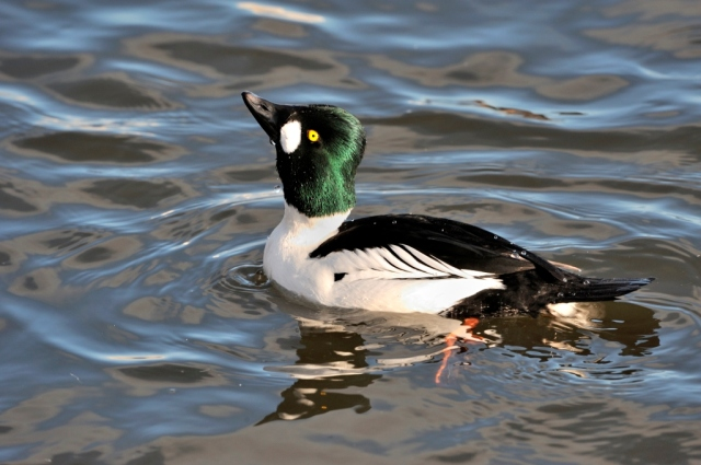 A male Goldeneye duck.©Lorne Gill/SNH