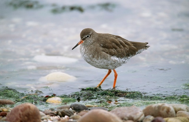 Redshank shoreline small