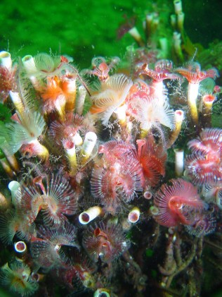 Serpulid reef