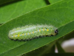 New Forest burnet caterpillar, ©Ilia Ustyantsev, Butterfly Conservation