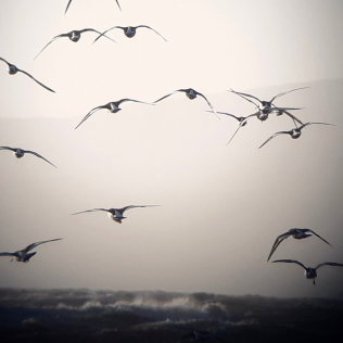 Oystercatchers © Stephen Rutt