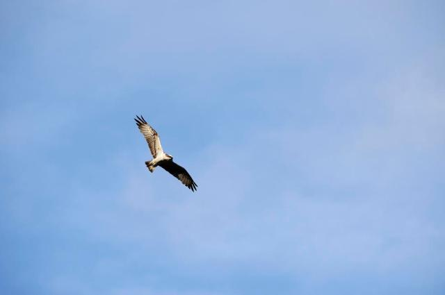 Osprey in flight.©Lorne Gill