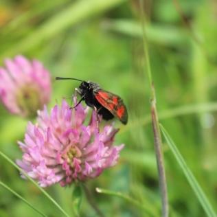 Slender Scotch burnet moth ©Kate Mennie