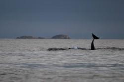 Bottlenose dolphin ©Kate Mennie