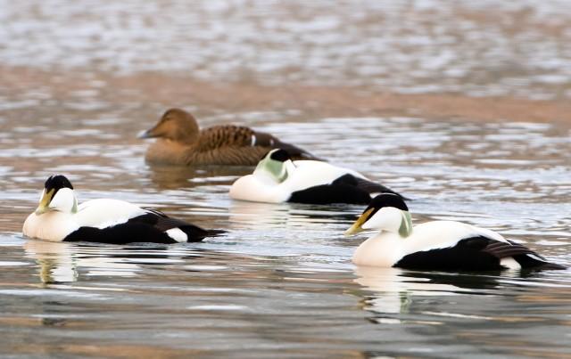 Male and female Eider Ducks.©Lorne Gill/SNH