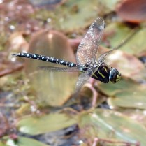 Common hawker ©Steve Buckland