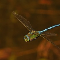 Emperor dragonfly ©Steve Buckland