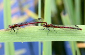 Large red damselflies ©Steve Buckland