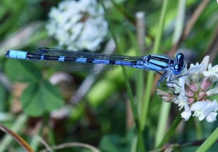 Common blue damselfly ©Steve Buckland