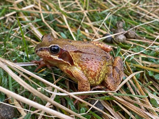 Common frog by Pauline Smith