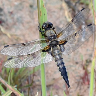 Dragonfly: Four-spotted chaser ©Steve Buckland
