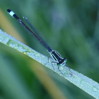 Damselfly: Blue-tailed damselfly ©Steve Buckland