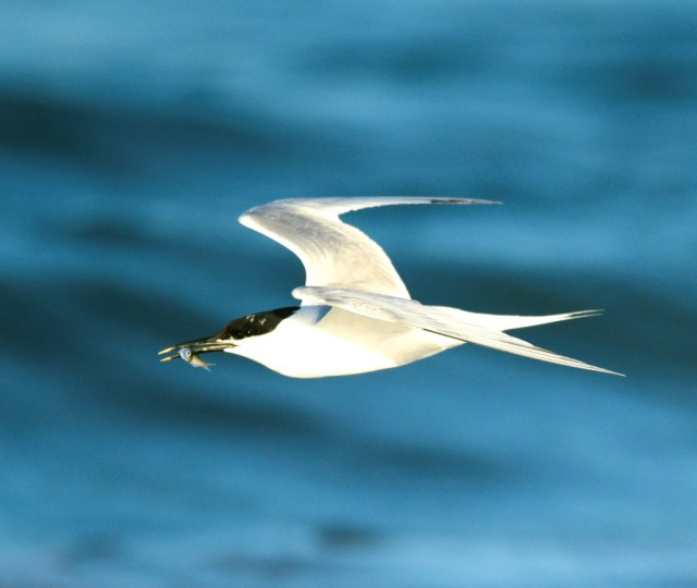 ron-sandwich-tern