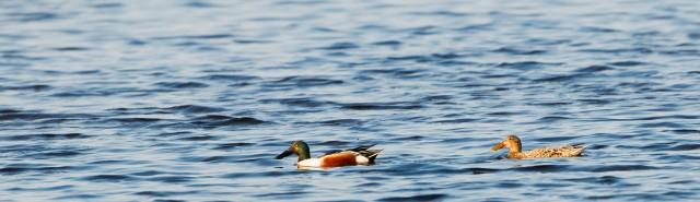 Male and female shoveler ducks.©Lorne Gill/SNH