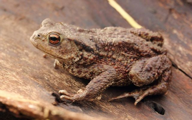 Toad (C)Pauline Smith