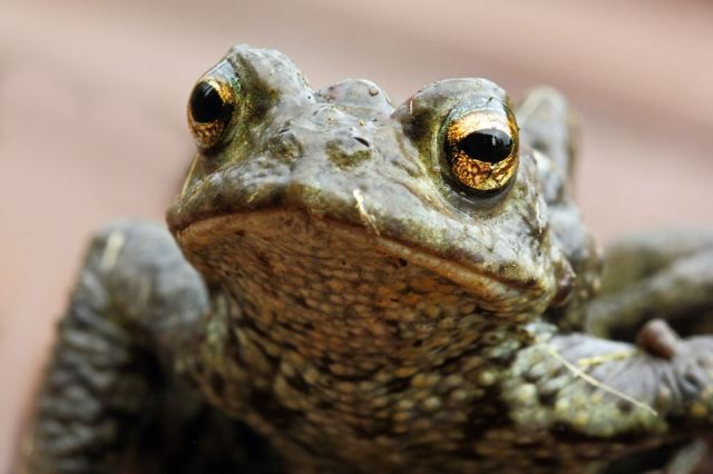 Wildlife selfie - common toad - by Pauline Smith
