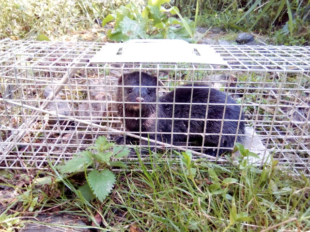 11. American mink in trap -Tay Reedbeds - August 2019 ©SISI