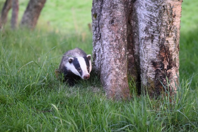 badger by tree sm A Bantick